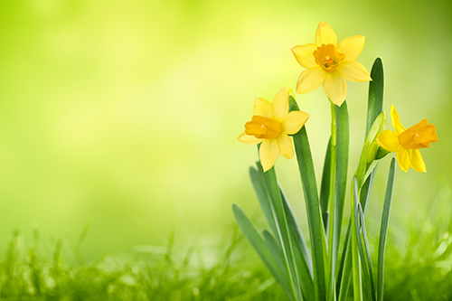 Daffodilflowers